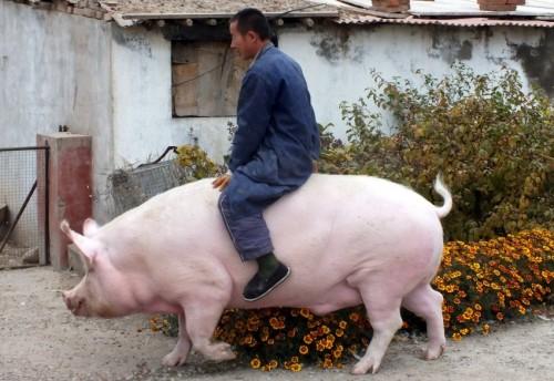 449088d1446622085-fat-guy-on-a-little-bike-48-hog-rider.jpg